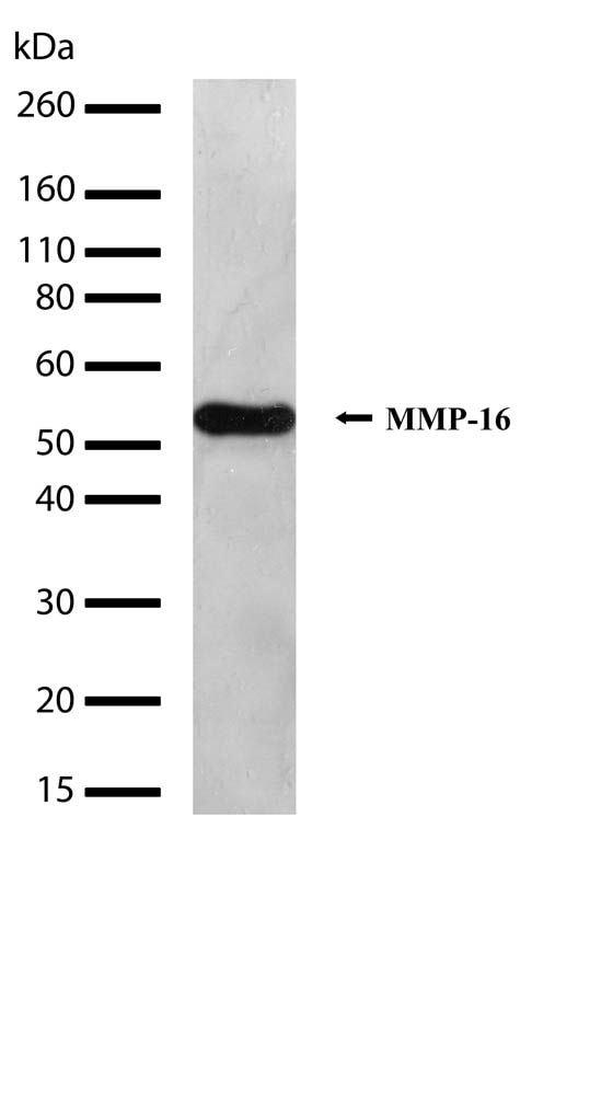MMP16 Antibody in Western Blot (WB)
