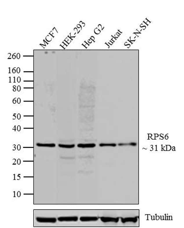 S6 Antibody in Western Blot (WB)