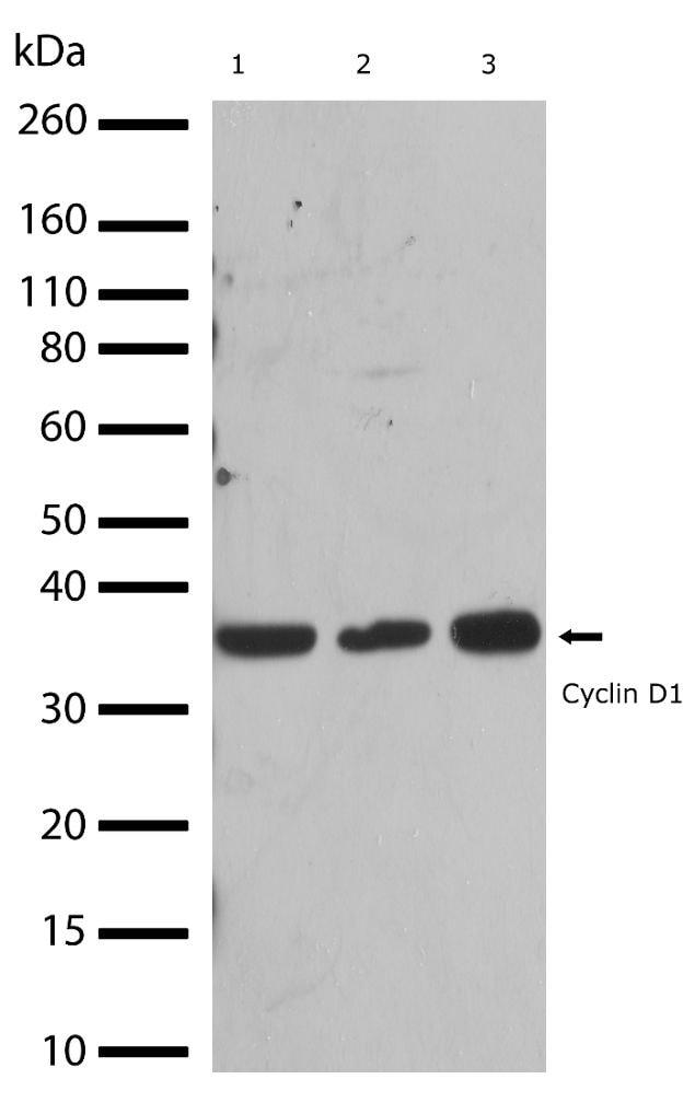 Cyclin D1 Antibody in Western Blot (WB)