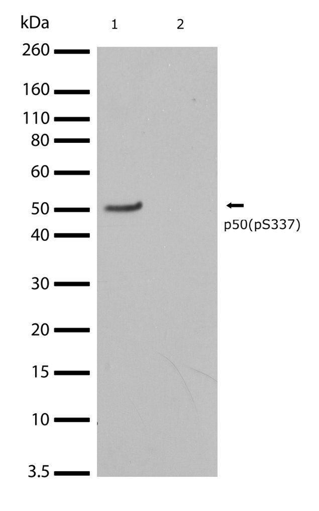 Phospho-NFkB p50 (Ser337) Antibody in Western Blot (WB)