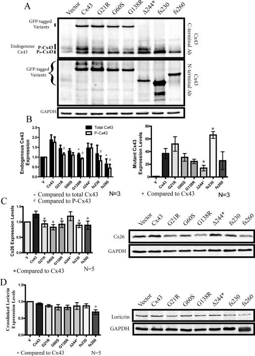Connexin 26 Antibody