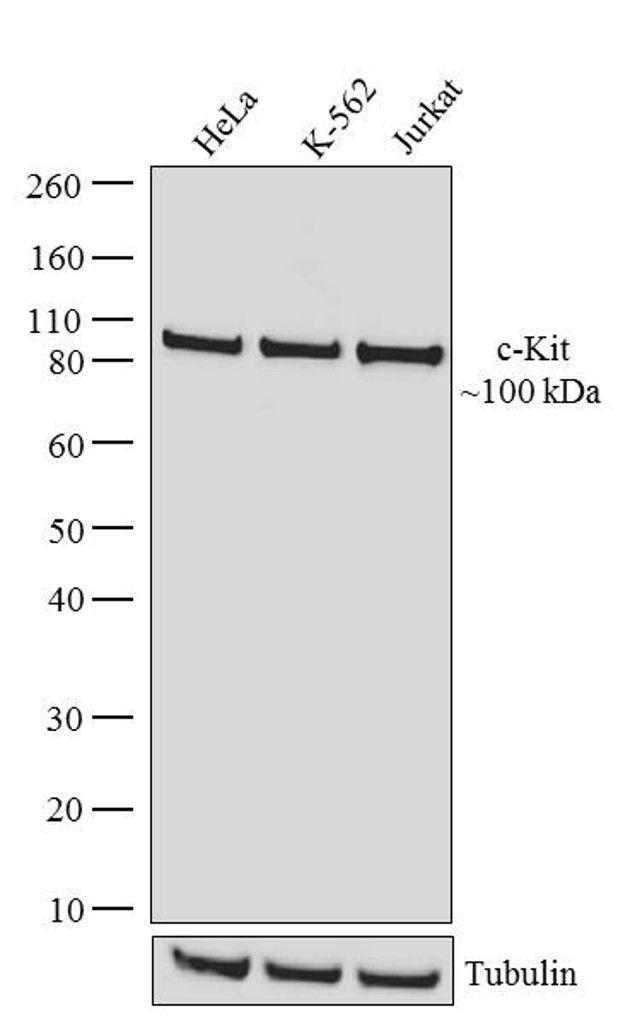 c-Kit Antibody in Western Blot (WB)