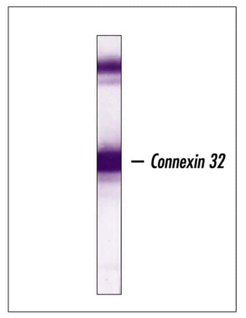 Connexin 32 Antibody in Western Blot (WB)