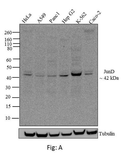 JunD Antibody in Western Blot (WB)