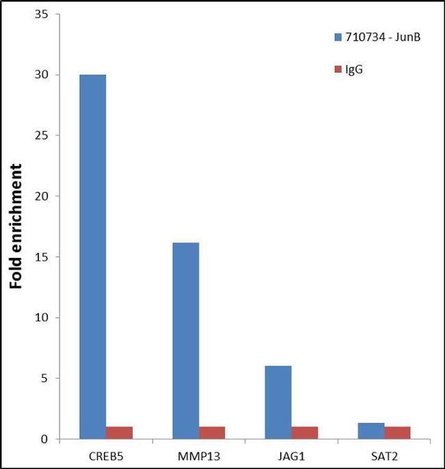 JunB Antibody in Relative expression