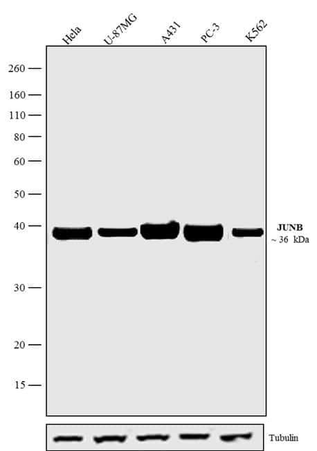 JunB Antibody in Western Blot (WB)