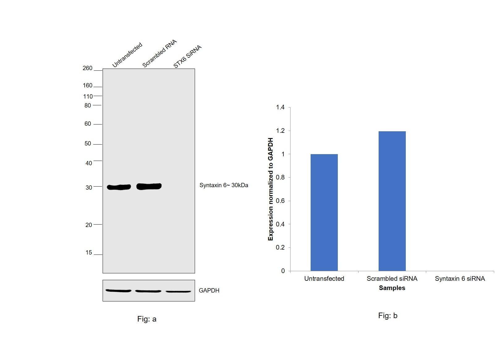Syntaxin 6 Antibody in Knockdown