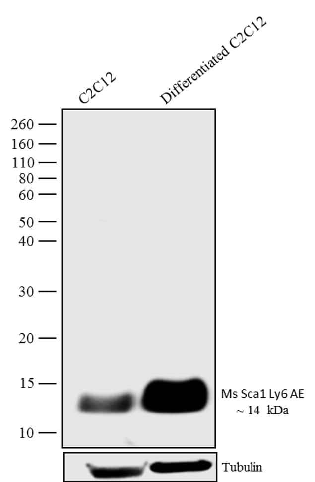 Sca-1 Antibody in Relative expression