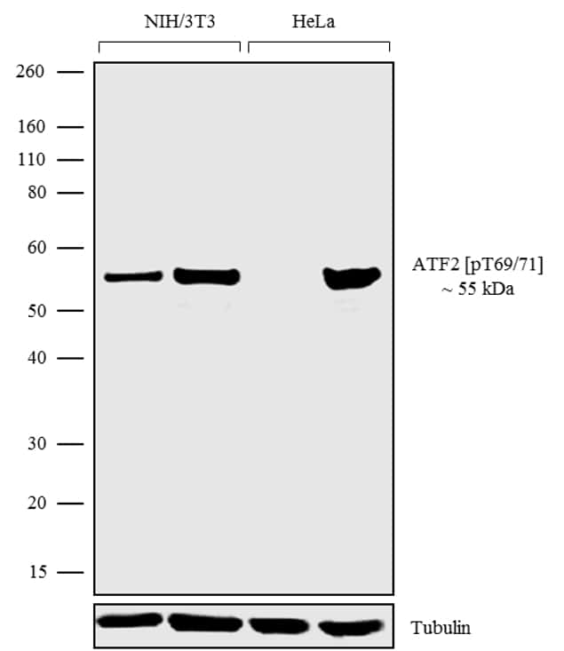 Phospho-ATF2 (Tyr69, Thr71) Antibody in Cell Treatment