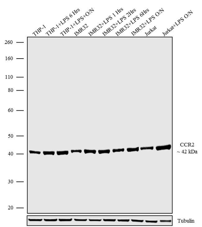 CCR2 Antibody in Western Blot (WB)
