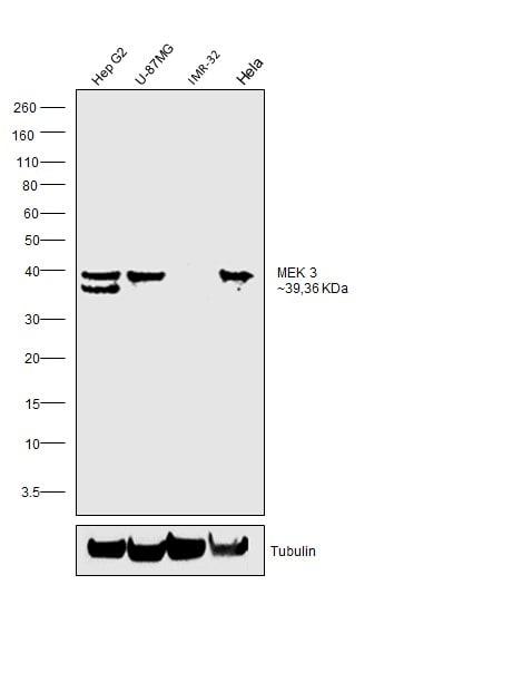 MEK3 Antibody in Relative expression