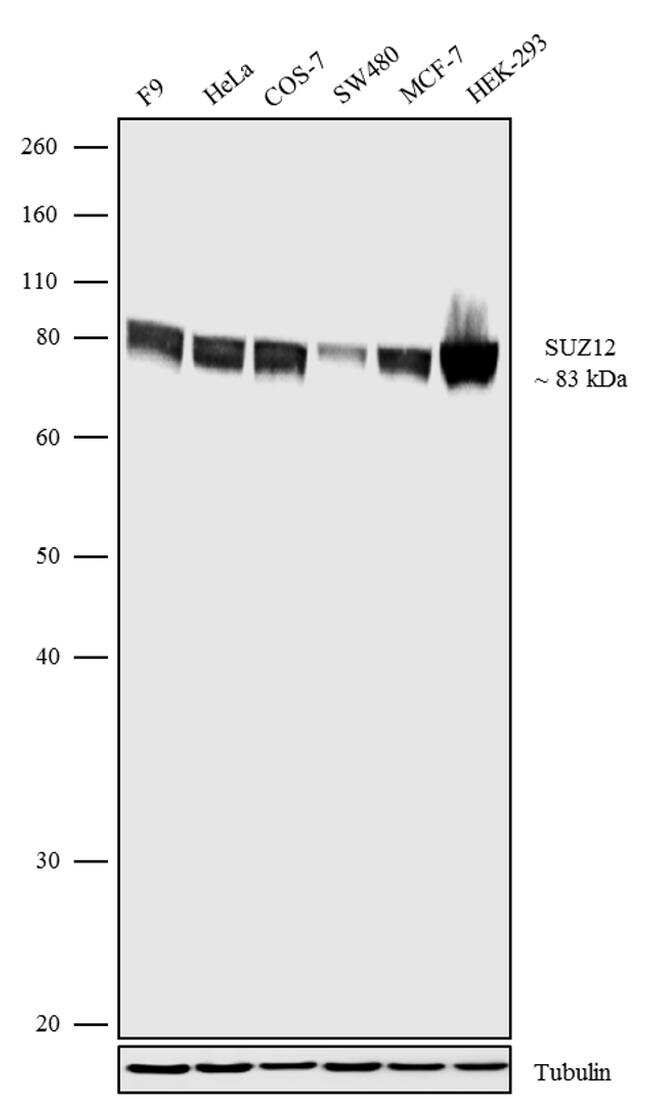 SUZ12 Antibody in Western Blot (WB)