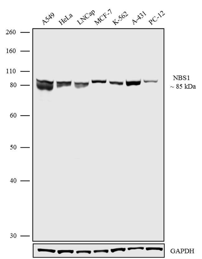 NBS1 Antibody in Western Blot (WB)