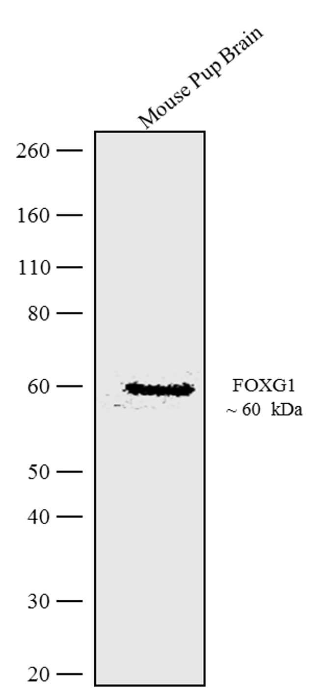 FOXG1 Antibody in Western Blot (WB)