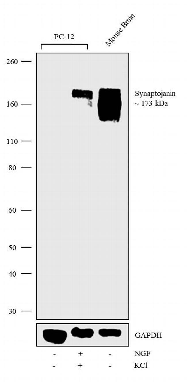 Synaptojanin 1 Antibody in Western Blot (WB)