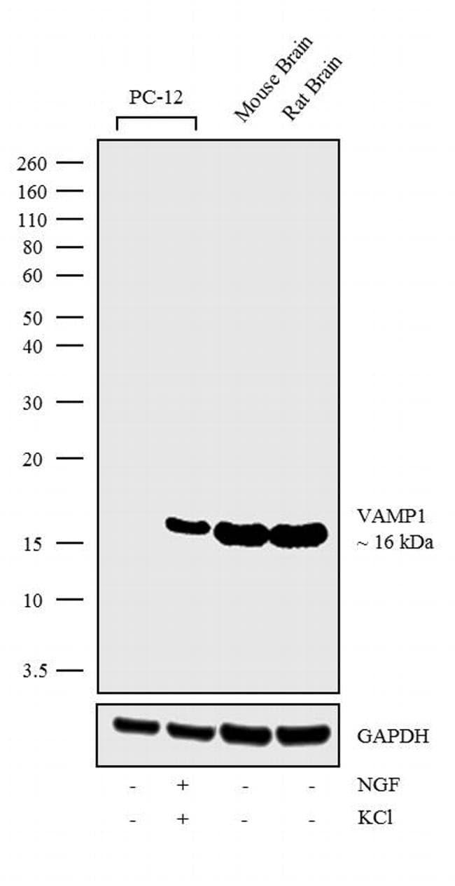 VAMP1 Antibody in Western Blot (WB)