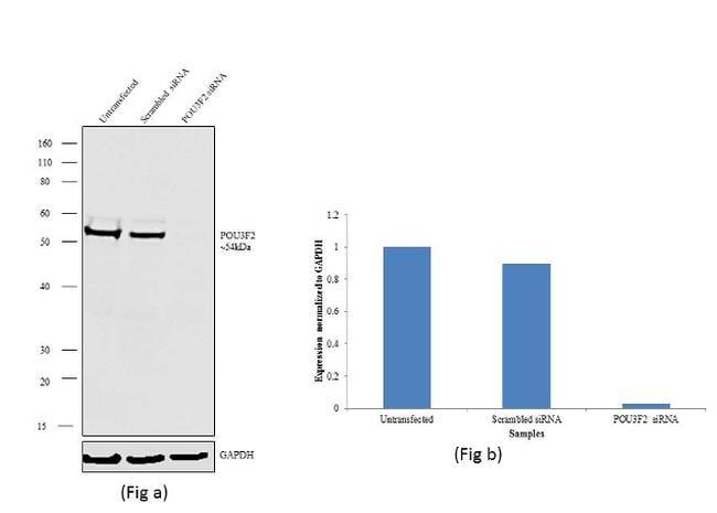POU3F2 Antibody in Knockdown