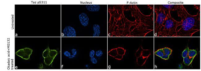 Phospho-WWTR1 (Ser311) Antibody in Immunofluorescence (IF)