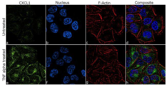 CXCL1 Antibody in Immunofluorescence (IF)