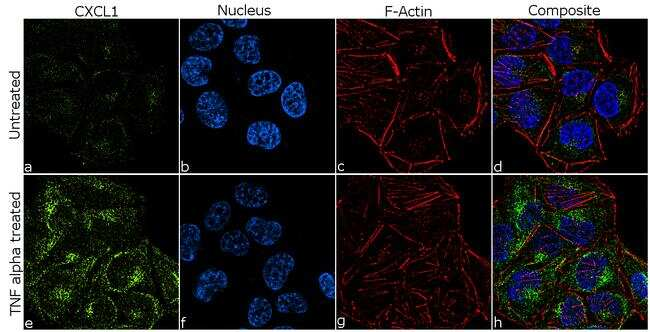 CXCL1 Antibody in Cell treatment