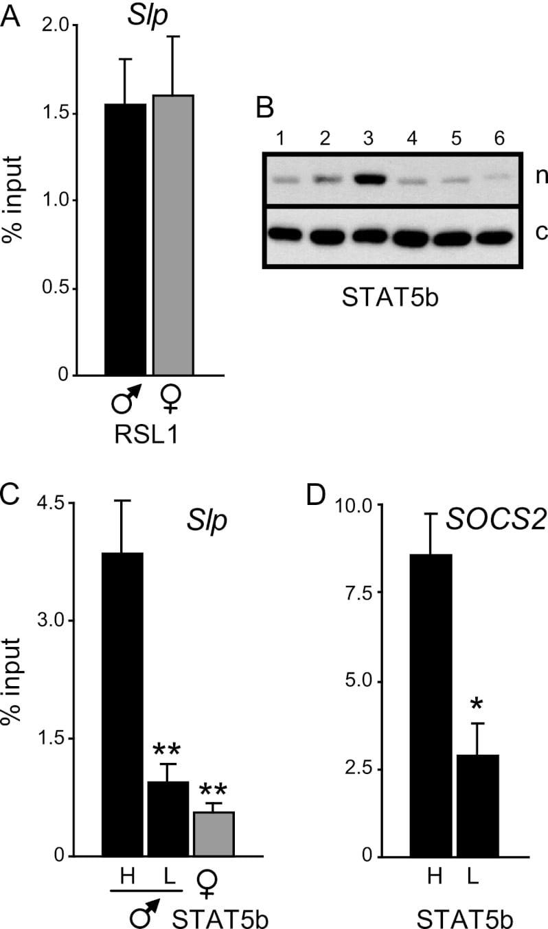 STAT5 beta Antibody