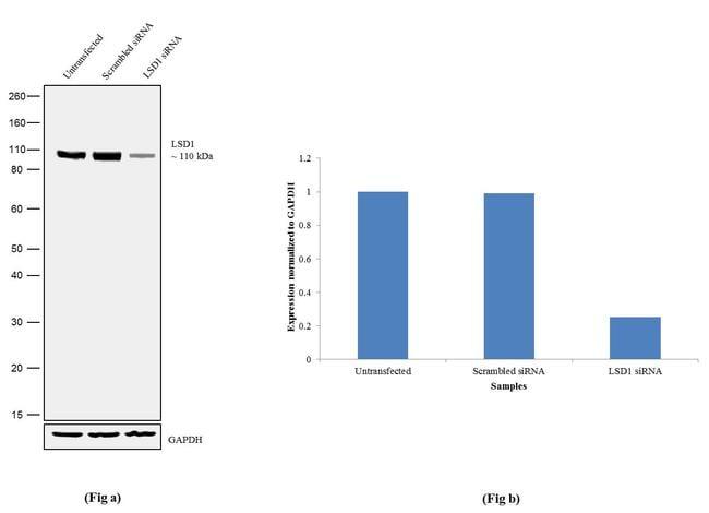 LSD1 Antibody in Western Blot (WB)