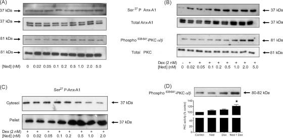 Annexin A1 Antibody