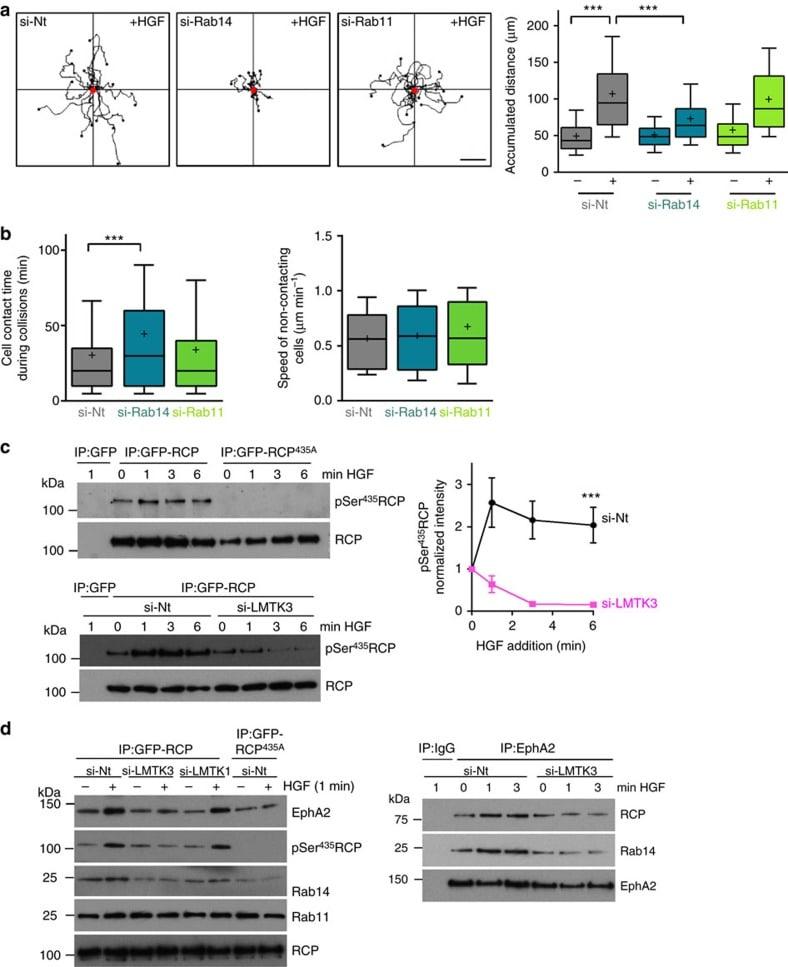RAB11A Antibody