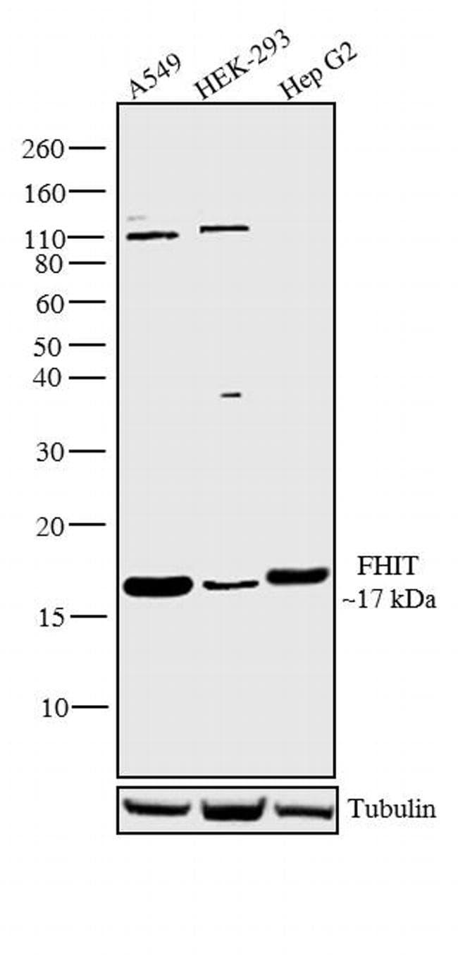 FHIT Antibody in Western Blot (WB)