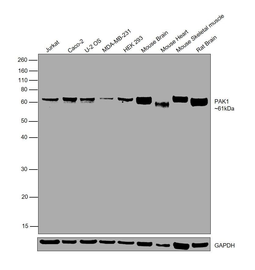 PAK1 Antibody in Western Blot (WB)