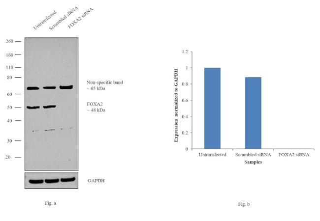 Foxa2 Antibody 720061