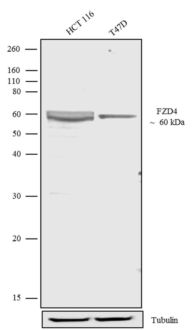 FZD4 Antibody in Western Blot (WB)