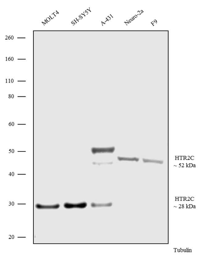 HTR2C Antibody in Western Blot (WB)