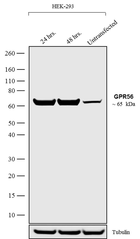 GPR56 Antibody in Western Blot (WB)