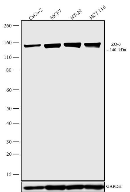 ZO-3 Antibody in Western Blot (WB)