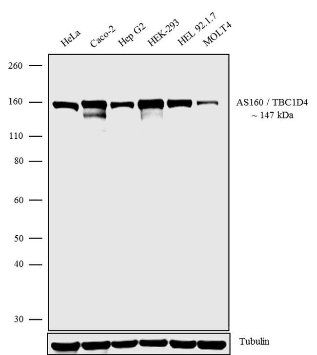 AS160 Antibody in Western Blot (WB)
