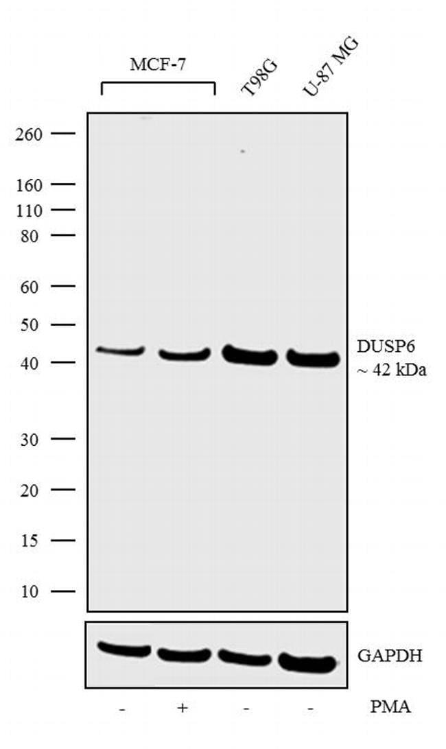 MKP3 Antibody in Western Blot (WB)