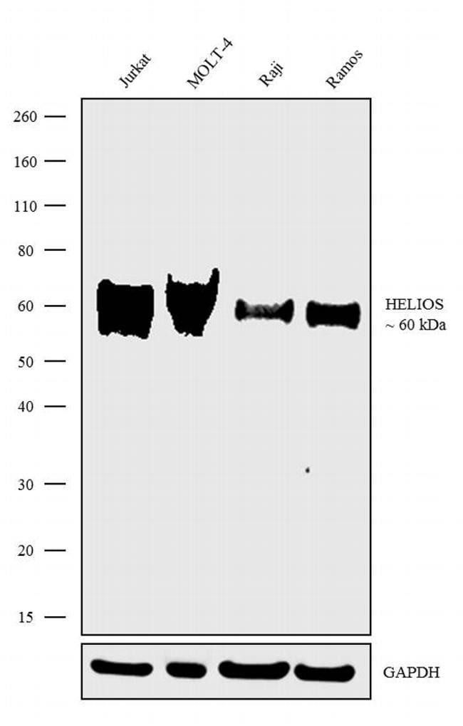 HELIOS Antibody in Western Blot (WB)