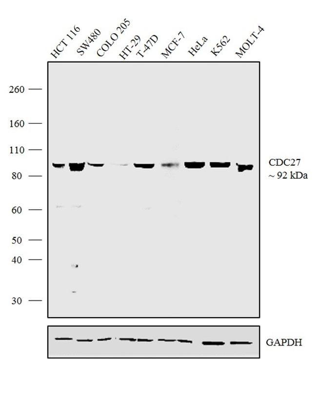 Cdc27 Antibody in Western Blot (WB)