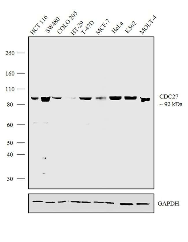 Cdc27 Antibody in Relative expression