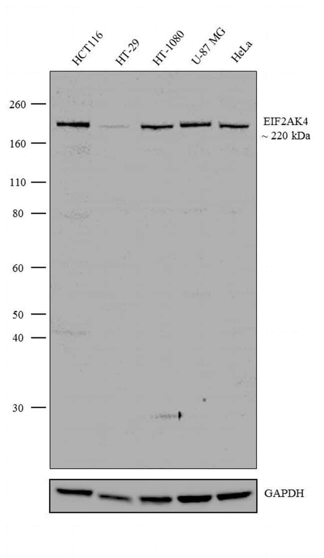 GCN2 Antibody in Relative expression