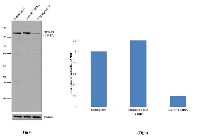 GCN2 Antibody in Western Blot (WB)