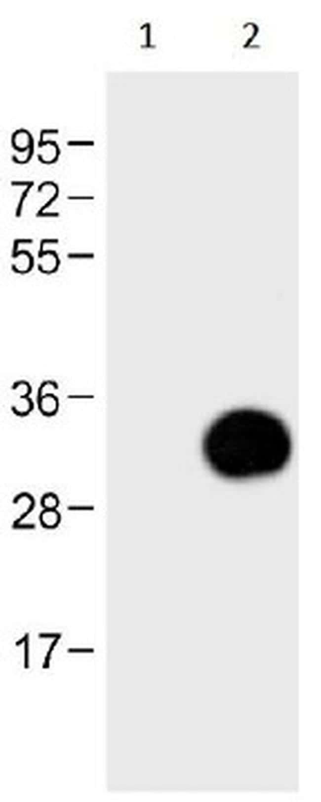 GFP Antibody in Western Blot (WB)