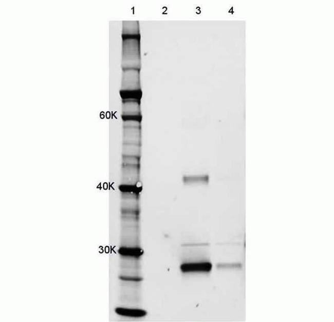 Rat IgG (H+L) Cross-Adsorbed Antibody in Immunoprecipitation (IP)