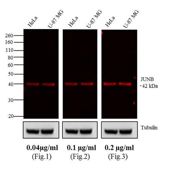 Rabbit IgG (H+L) Highly Cross-Adsorbed Antibody in Western Blot (WB)
