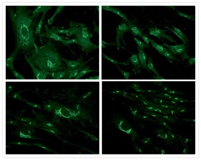 Mouse IgG (H+L) Cross-Adsorbed Antibody in Immunofluorescence (IF)