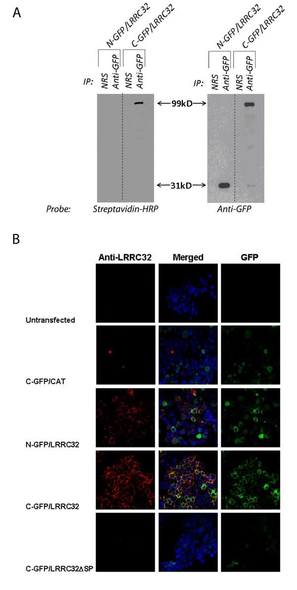GFP Tag Antibody