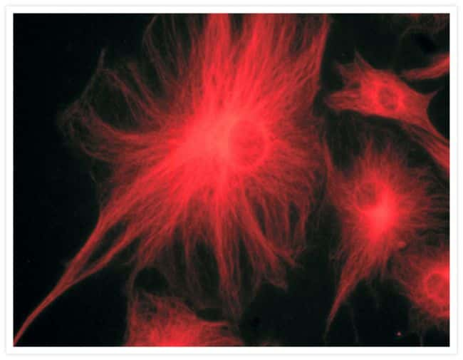 alpha Tubulin Antibody in Immunofluorescence (IF)