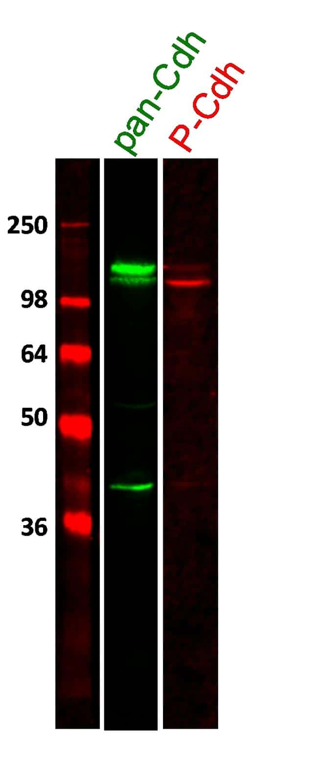 Rabbit IgG (H+L) Highly Cross-Adsorbed Secondary Antibody in Western Blot (WB)