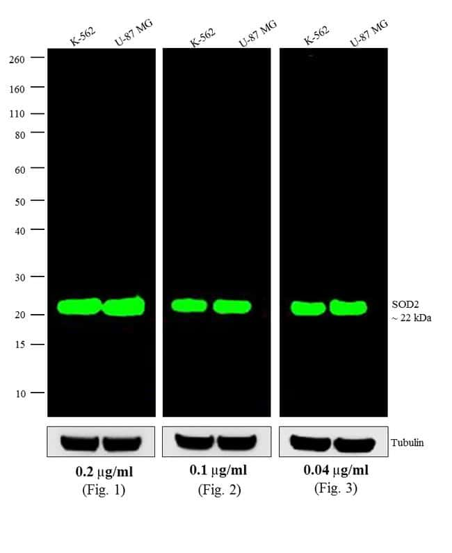 Mouse IgG (H+L) Highly Cross-Adsorbed Antibody in Western Blot (WB)